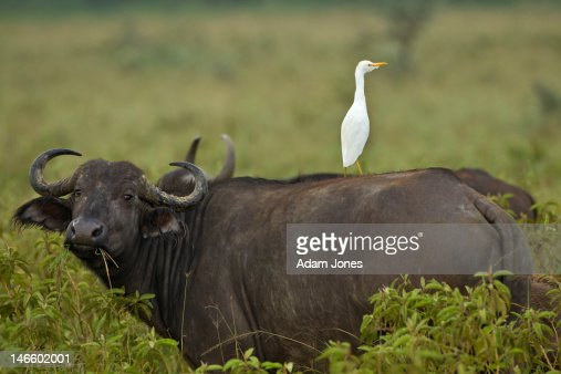 cattle egret and cow symbiotic relationship
