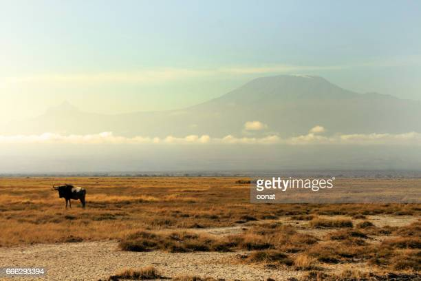 Buffalo with Mount Kilimanjaro