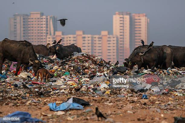 Buffaloes graze among garbage at the Deonar landfill site in Mumbai India on Wednesday March 11 2015 The government of the state of Maharashtra last...