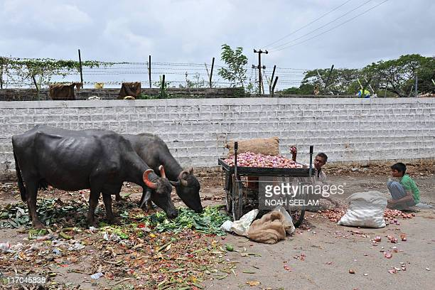 Buffaloes graze while Indians collect rejected vegetables thrown away by vendors at a garbage dump near a wholesale vegetable market in Hyderabad on...