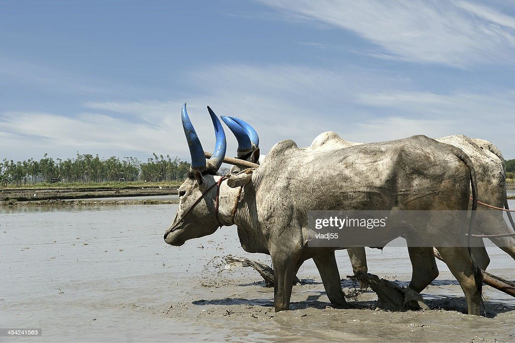 buffaloes in the rice fields, Kerala, South India : Stock Photo