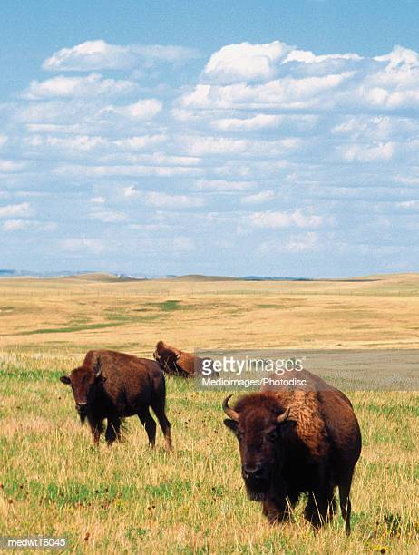 Buffalos in Theodore Roosevelt National Park in North Dakota, USA