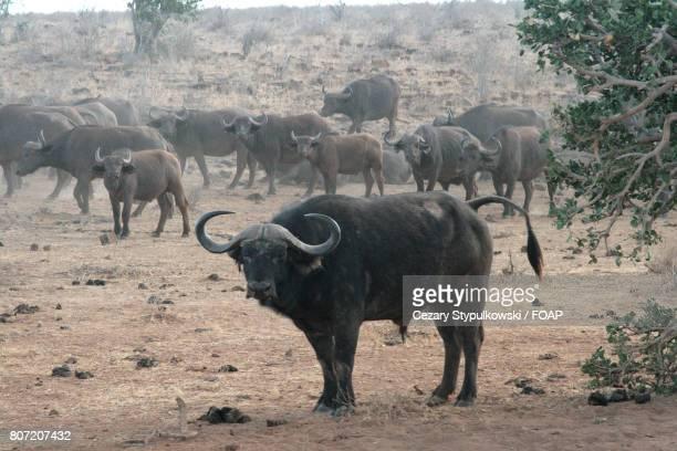 Buffalo's standing on field