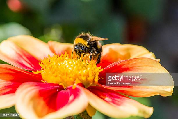 Bufftailed Bumblebee is collecting nectar from a Dahlia blossom