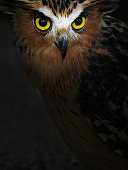 Buffy Fish Owl with beautiful yellowish eyes