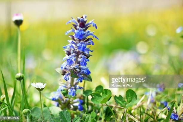 Bugle: common blue wildflower in its natural surroundings.
