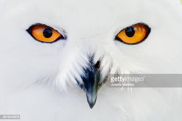 Buho nival - Snowy Owl