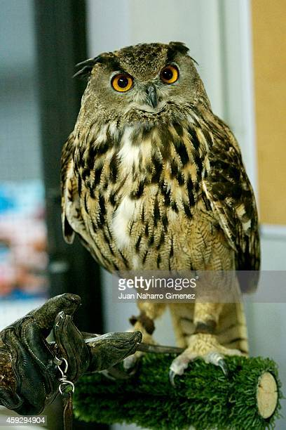 Buho Real bird is weighed at Zoo Aquarium of Madrid on September 18 2014 in Madrid Spain Every week the birds are weighed and examined by experts to...