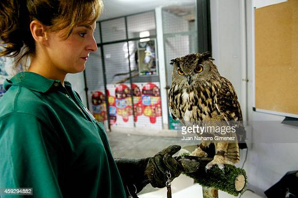 Buho Real bird is weighed By zookeeper Mercedes Marquez at Zoo Aquarium of Madrid on September 18 2014 in Madrid Spain Every week the birds are...