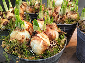 Bulbs of daffodils (narcissus) with sprouts growing flower pot