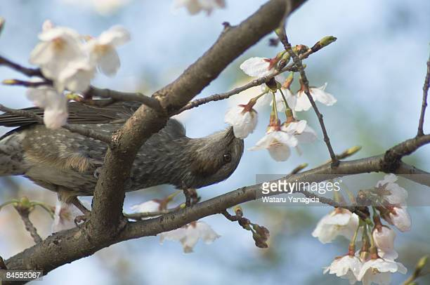 Bulbul in cherry blossom tree