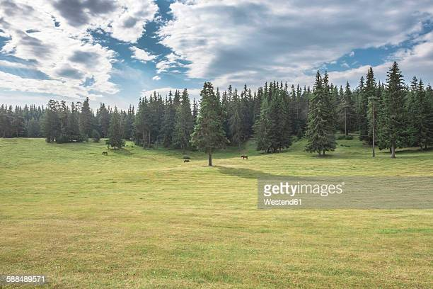Bulgaria, Rhodope Mountains, three horses grazing on a meadow in front of fir forest