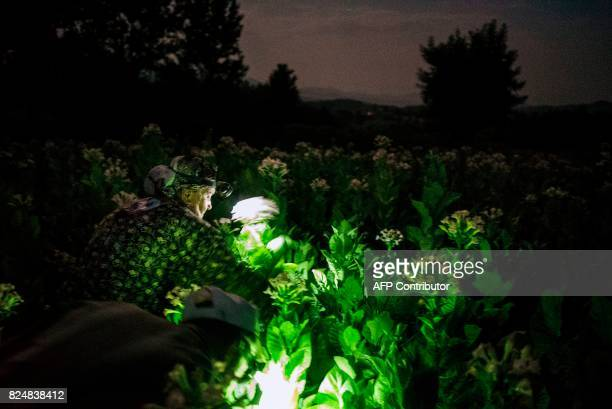 A Bulgarian family collects tobacco leaves in the early morning to escape the summer heat on July 12 2017 near the village of Karchovsko southeast of...