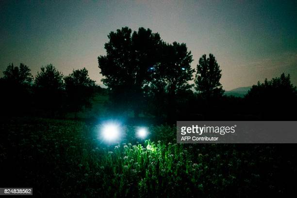 A Bulgarian family collects tobacco leaves using flashlights in the early morning to escape the summer heat on July 12 2017 near the village of...