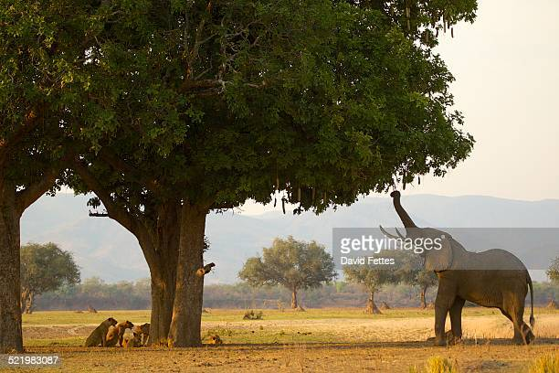 Bull african elephant (Loxodonta africana) feeding on sausage tree leaves, having driven pride of lions behind tree, Mana Pools National Park, Zimbabwe