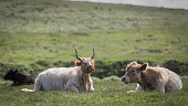 Cattle in Cornwall are on the pasture