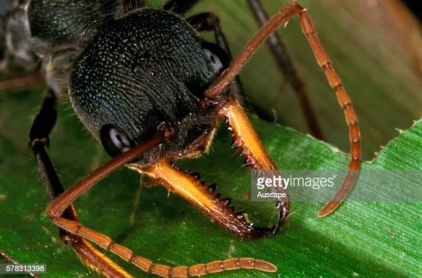 Bull ant Myrmecia sp mandibles that grip an intruder so that the ant can curl itself to expose its sting and deliver venom Craven State Forest New...