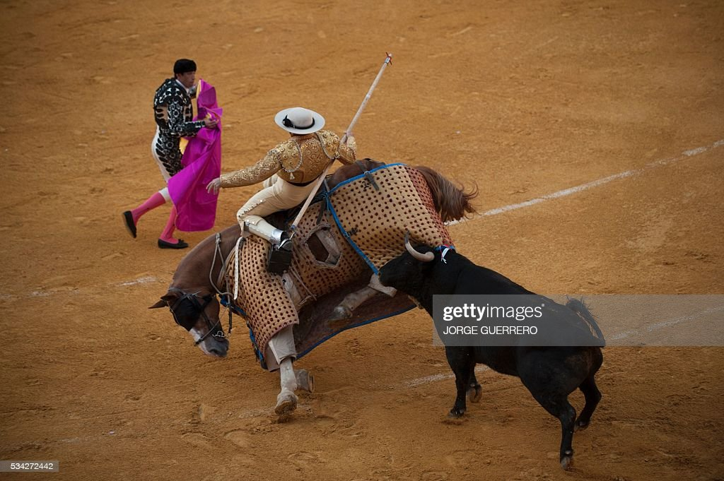 A bull attacks the picador's horse to knock it down during the Corpus bullfight festival at the bullring of Granada on May 25, 2016. / AFP / JORGE