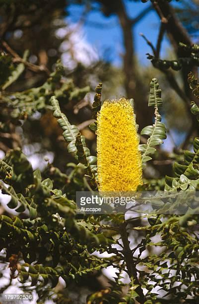 Bull banksia Banksia grandis flower spike Australia
