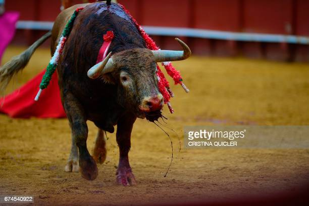 A bull bleeds after being stabbed by Spanish matador Lopez Simon during a bullfight at the Maestranza bullring in Sevilla on April 28 2017 / AFP...