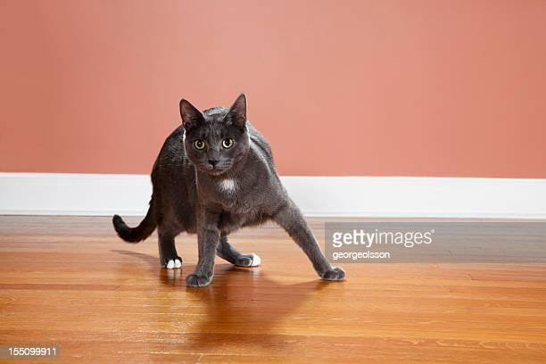 Bull Cat