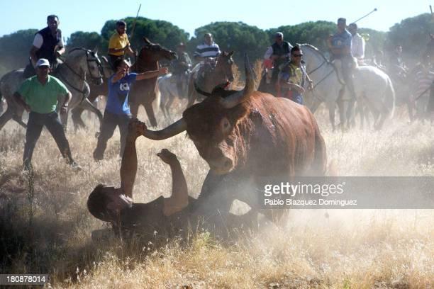 A bull charges over a photographer during the 'Toro de la Vega' bull of the plain festival on September 17 2013 in Tordesillas Spain The festival is...