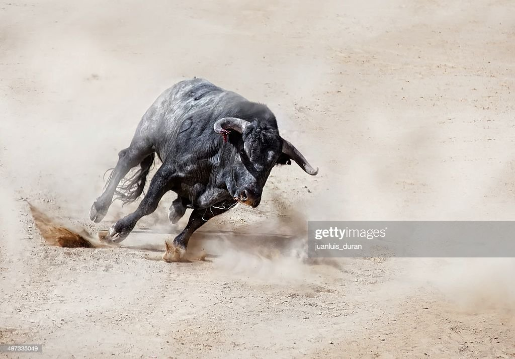 Bull charging across sand creating dust cloud