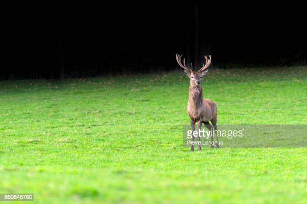 Bull Deer looking at camera in a middle of a field, dark contrasty forest background, Gruyere Region, Switzerland