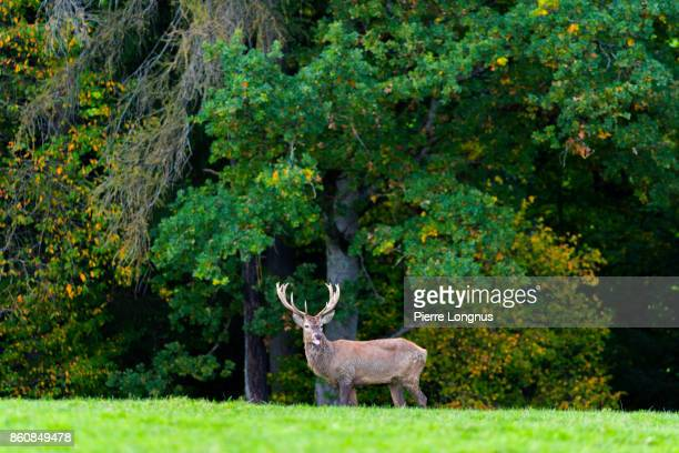 Bull deer showing his tongue and standing at the edge of a forest in October looking at the camera, Gruyère region of Switzerland