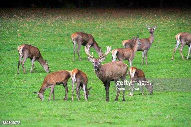 Bull deer Standing among female deer in October during mating season, In the Gruyere region of Switzerland