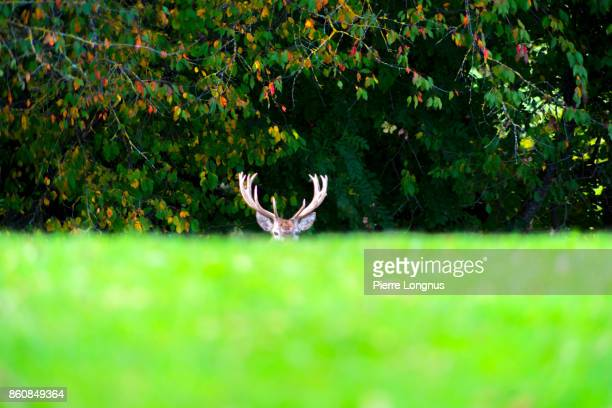 Bull deer standing at the edge of a forest in October looking at the camera, hiding behind healer, Gruyère region of Switzerland
