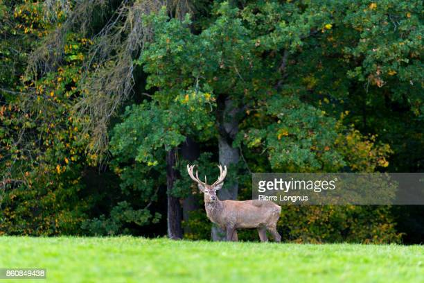Bull deer standing at the edge of a forest in October looking at the camera, Gruyère region of Switzerland