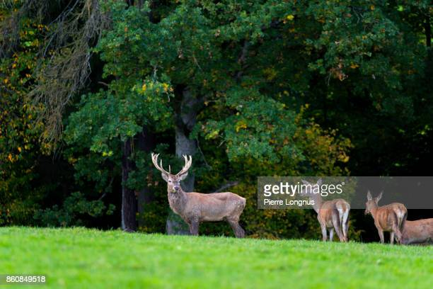 Bull deer standing at the edge of a forest in October looking at the camera with female deer on the side during mating season in October, Gruyère region of Switzerland