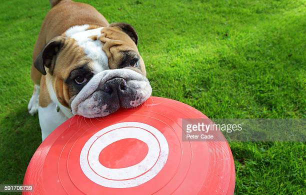 Bull dog holding frisbee in mouth
