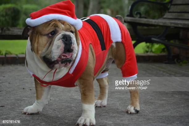 Bull Dog in santa claus costume