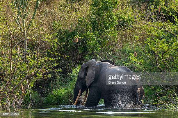 A bull elephant bathes and drinks water on the Northern shores of Lake Edward inside Virunga National Park on August 9 2013 in Ishango DR Congo This...