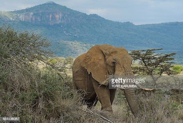 VINCENOT A bull Elephant forrages in the evening light on August 7 2014 at the Ol Jogi rhino sanctuary in the Laikipia county approximately 300...