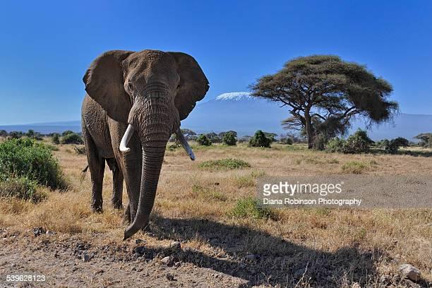 Bull Elephant in front of Mt. Kilimanjaro