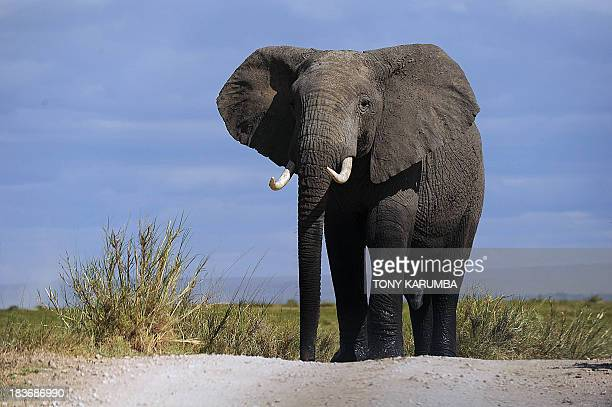 A bull elephant walks on October 7 2013 at Amboseli National Park approximately 220 kms southeast of Nairobi Kenyan and Tanzanian governments started...
