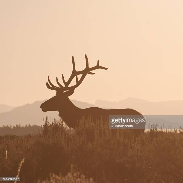 Bull Elk at Dawn - Grand Teton National Park, WY