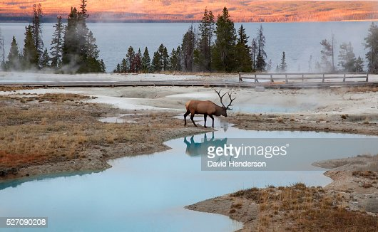 Bull Elk at thermal pools, Wyoming, USA : Stock-Foto