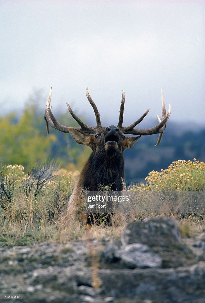 Bull elk bugles. Cervus canadensis. Yellowstone National Park, Wyoming.
