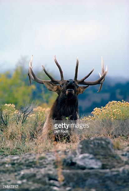 Bull elk bugles. Cervus canadensis. Yellowstone National Park, Wyoming.