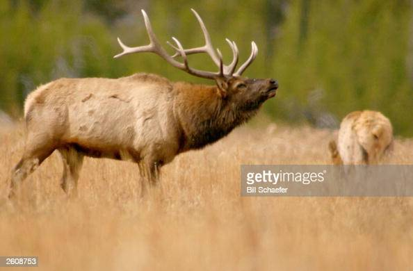 A bull elk bugles in a pasture meadow near the Madison River in Yellowstone National Park October 16 2003 in Wyoming Bugles is a common elk sound...