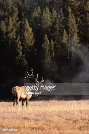 Bull Elk Bugling in Cold