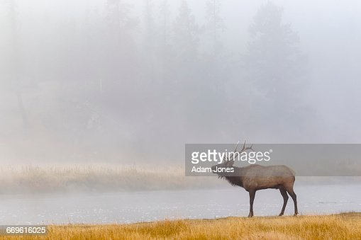 Bull elk bugling on foggy morning