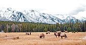Bull Elk in Banff National Park in November