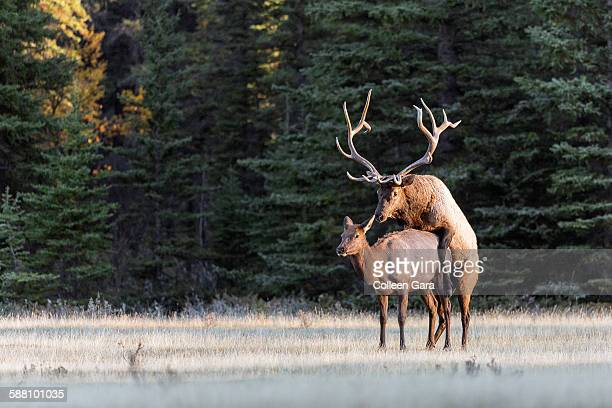 Bull Elk Mating with Cow Elk