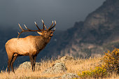 A large male elk bugles in front of a mountain backdrop.