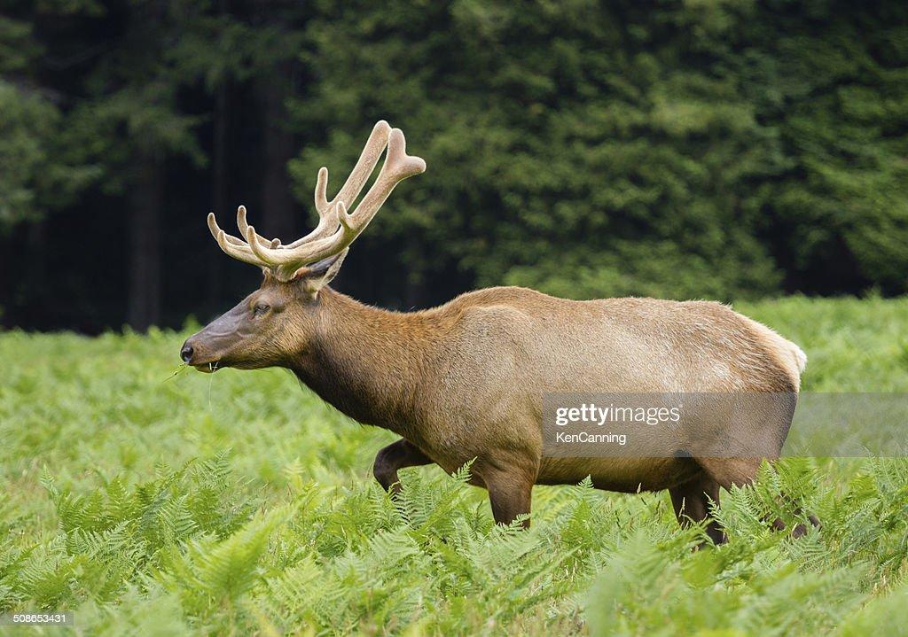 Bull Elk : Stock Photo